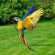Nop no Amazon Parrot but a macaw