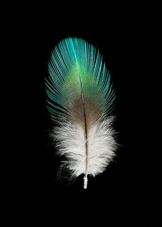 Parrot Feather  Bird  Fine Art Photograph  Nature by SeanoEye, $20.00