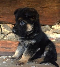 All About The Loyal German Shepherd Dog Baby German Shepherds, Blue German Shepherd, German Shepherd Memes, German Shepherd Pictures, Cute German Shepherd Puppies, Aussie Puppies, Cute Dogs And Puppies, Pet Dogs, Doggies