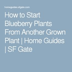 How to Start Blueberry Plants From Another Grown Plant | Home Guides | SF Gate