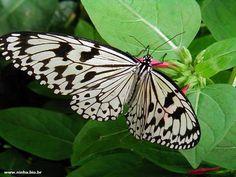 borboleta branca e preta
