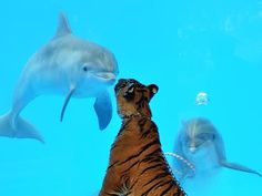 Just Some Dolphins Meeting A Tiger