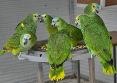 Image result for blue fronted amazon parrots