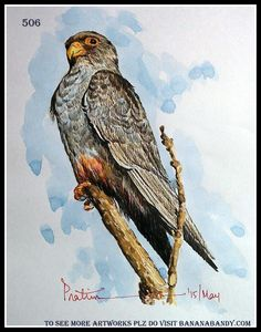 FOREIGN BIRDS ON MY CANVAS # 16 ...AMUR FALCON [FROM A PHOTOGRAPH OF MR. SAIBAL KUMAR SEN ...WATERCOLOUR ...A4 ... 2015 ....... The Amur falcon (Falco amurensis) is a small raptor of the falcon family. It breeds in south-eastern Siberia and Northern China before migrating in large flocks across India and over the Arabian Sea to winter in Southern Africa.