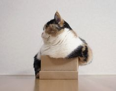 fat cat in a little box