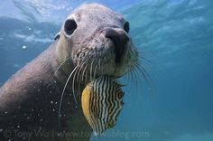 Australian Sea Lion (Neophoca cinerea) with a Fish in its Mouth / Tony Wu's Underwater Photography Blog