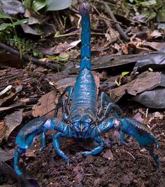 Royala blue emperor scorpion n my next member of my family once I track down a breeder :) will b very well looked after n loved like all the rest of my family of lovelies :)