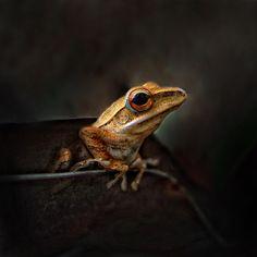 Frog by Saelan Wangsa, via 500px