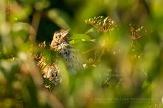 Brown Thrasher (Toxostoma rufum) - Meadow Birds & Critters | Show Me Nature Photography