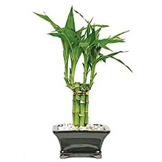 Brussel's Bonsai Lucky Bamboo in Clay Planter at Lowe's. In China, Lucky Bamboo is thought to bring good fortune. It is attractive, easy to grow and popular for Feng Shui applications. Indoor Bamboo Plant, Lucky Bamboo Plants, Bamboo Tree, Plants Indoor, Common House Plants, Arrowhead Plant, Decorative Pebbles, Window Plants, Plant Delivery