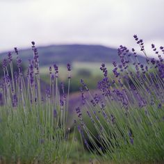 Lavender is a natural disinfectant. Use it in homemade cleaners for this benefit as well as its calming scent, which is known to ease tension, anxiety and depression. Summer Flowers, Wild Flowers, How To Propagate Lavender, Natural Disinfectant, Palmiers, Lavender Fields, Lavander, Lavender Plants, Natural Cleaners