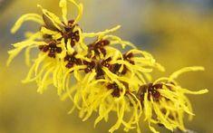 The scented yellow flowers of witch hazel 'Pallida'      How to grow: witch hazel