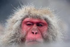 """""""Japanese macaque monkeys have learned to steal purses and take coins, using them to buy snacks from vending machines. Primates, Japanese Monkey, Sand Fleas, Macaque Monkey, Grazing Animals, Japanese Macaque, Types Of Monkeys, Wild Animals Photos, Japan Image"""