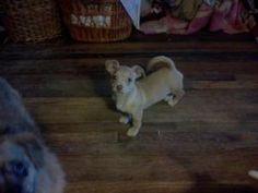 Truffles is an adoptable Corgi Dog in Woodland Hills, CA.