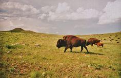 Bison, South Dakota Prairie