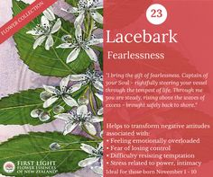 Lacebark - Fearlessness - helps to transform fear into strength. Assists with sudden outbreaks of rage, tantrums and bullying tendencies. Personal power flower for those born Nov (Scorpio). Negative Attitude, Order Flowers, Emotional Healing, Natural Medicine, One Light, Scorpio, Rage, Bullying, Natural Remedies