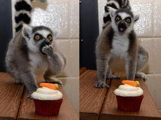 if you give a lemur a cupcake.