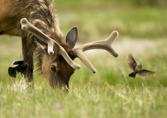 Natures Doorways - velvetbambi: earthlynation: Elk &...