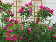 #-neuer Gartentraum- Rose de resht