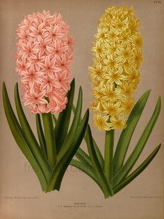 antique victorian botanical print pink anf yellow hyacinth illustration DIGITAL DOWNLOAD