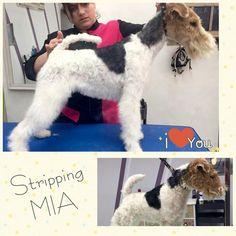 #fox #foxterrier #doggrooming #peluqueriacanina #guauquepelos #zaragoza #peluqueriacaninazgz #peluqueriacaninazaragoza #stripping #trimming