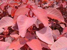 Euphorbia: Cotinifolia barrabas