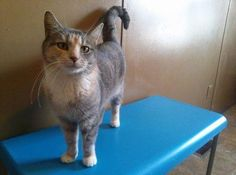 Meet Agatha Christie, a Petfinder adoptable Dilute Calico Cat | Muncie, IN | Where Agatha Christie came from is a mystery to us.  We have been able to deduce she is a sweet,...