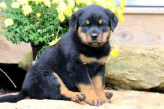Find Out More On The Playful Rottweiler Puppies Health Rottweiler Puppies For Sale, Rottweiler Dog, Pug Puppies, Teacup Pugs For Sale, German Dog Breeds, Big Teddy Bear, Training Your Dog, Dog Life, I Love Dogs