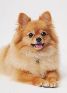 Pomeranian/「動く毛糸玉」のようなかわいい犬!|「Dog Safety 倶楽部 」のファンがつくるサイト