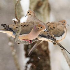 Mourning Doves (Photo: Betsy Bass - Instagram post by @audubonsociety)