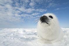 Daisy Gilardini Photography Harp Seal Pup, Baby Harp Seal, Baby Seal, Animals And Pets, Baby Animals, Animal Pictures, Cute Pictures, Cute Seals, Super Cute Animals