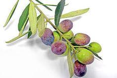 Grüne Oliven werden unreif geerntet.
