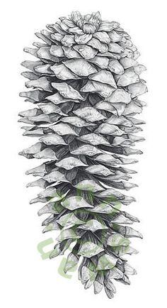 Ann Swan - Giant Fir Cone