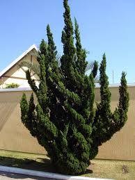 「Juniperus chinensis L. 'Kaizuka'」の画像検索結果