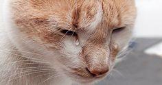 ¿Qué ocurre cuando un gato llora con lágrimas reales?