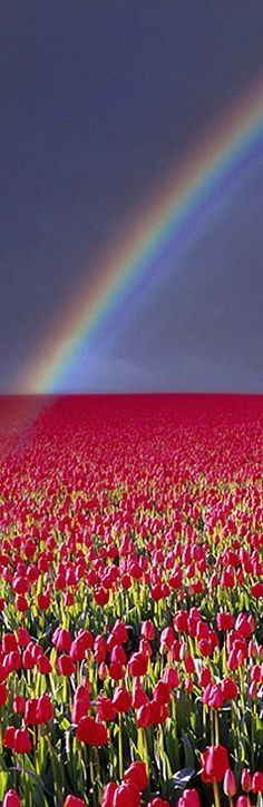 The Netherlands Travel Inspiration - Rainbow Over Tulip Field