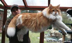 Big Daddy Kane - Norwegian Forest Cat, Twinkle Kitty