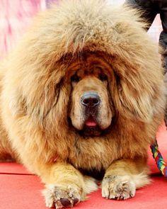 Tibetan mastiff. Seriously how hilariously adorable