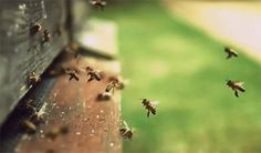 A hive of honey bees will fly 90,000 miles, the equivalent of three orbits around earth, to collect 2.2 pounds of nectar to produce honey. | 11 Things You Should Know Right Now About Honey Bees