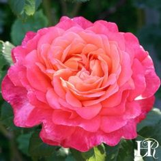 Roses at Heirloom Roses. Your source for red roses, old roses, shrub roses and shrub rose bushes Beautiful Roses, Beautiful Gardens, Beautiful Butterflies, Rose Garden Portland, Heirloom Roses, Types Of Roses, Shrub Roses, Rose Arrangements, Asian Garden