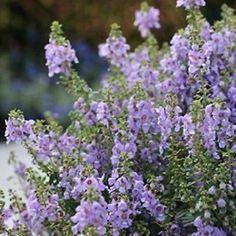 150 Angelonia SERENITA BLUE SKY Live Plants Plugs Patio Garden Planters 372   Home & Garden, Yard, Garden & Outdoor Living, Plants, Seeds & Bulbs   eBay!