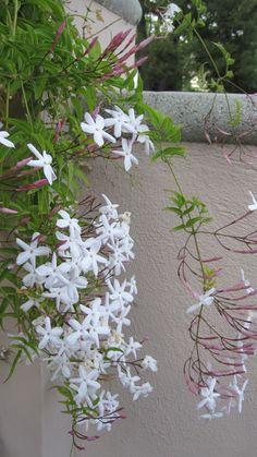 Joe's garden filled with the aroma of Jasmine.