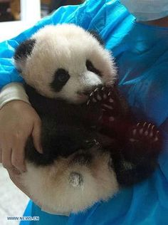 This is Oreo, one of the 7 panda born in China