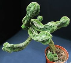 Crassula 'Buddha's Temple' - really want this succulent for my garden.