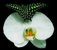 Tailed Jay Butterfly on orchid