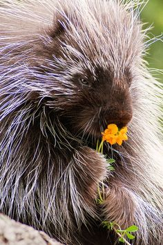 Porcupine with Flower by Don Johnson