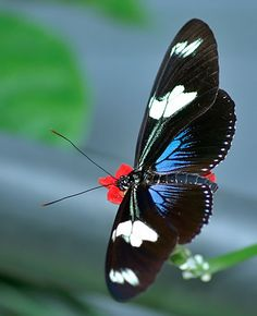 Doris Longwing butterfly  It is found from Central America to the Amazon. It is found from sea level to 1200 metres in forest clearings.