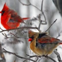I love cardinals!I've not seen these in the wild but they are the most beautiful birds. Pretty Birds, Love Birds, Beautiful Birds, Simply Beautiful, State Birds, Ohio Birds, Cardinal Birds, Bird Pictures, Cardinal Pictures