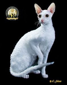 Although otherworldly in appearance, Cornish Rex cats originated in Cornwall, England, where one first appeared in a litter of barn cats in 1950.