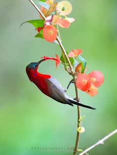 Crimson Sunbird: perfect shot. Love the red popping against the green, and the gorgeous colours of the flowers.  All framing the beautiful bird :)